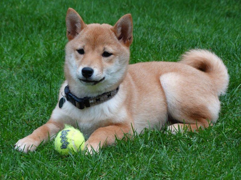 ▲比起貴賓、柯基等犬種,柴犬在台灣也深受喜愛,許多人家裡都選擇養牠。(圖/取自pixabay)