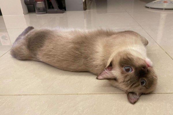 ▲「Money」是一隻未滿1歲的重點色曼赤肯公貓。(圖/網友陳琦琦、許瑜芯授權提供)