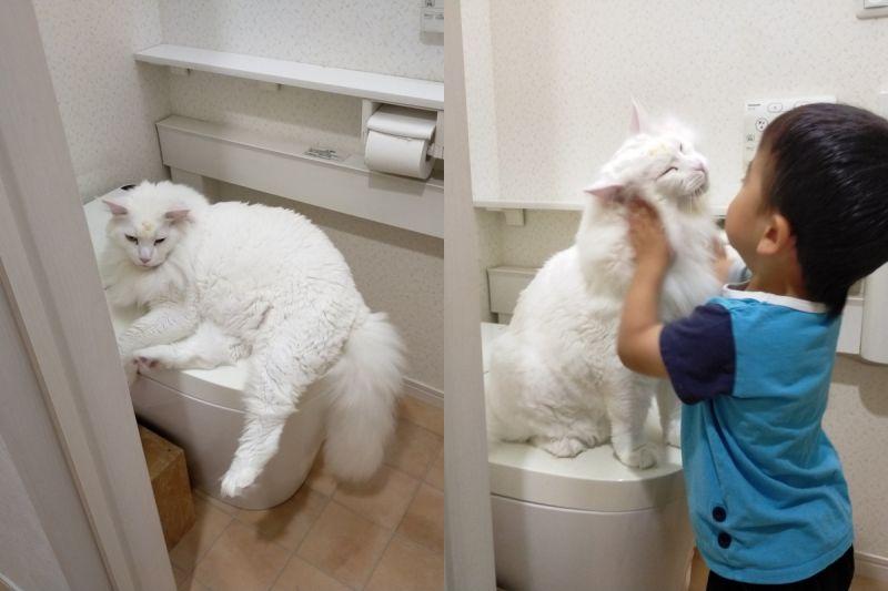 ▲推主3歲兒子上廁所時被巨貓攔下,討摸以後才願意離開!(圖/Twitter帳號:FakeYashu)