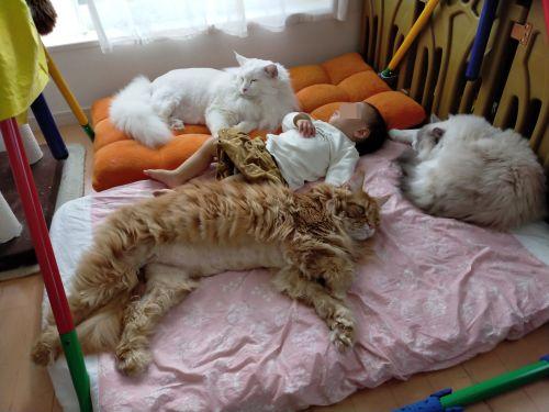 ▲家裡養了非常多隻大貓咪,把床都佔滿了呢!(圖/Twitter帳號:FakeYashu)