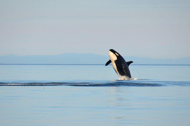 虎鯨被困42年 至今仍衝撞玻璃找回大海的路!