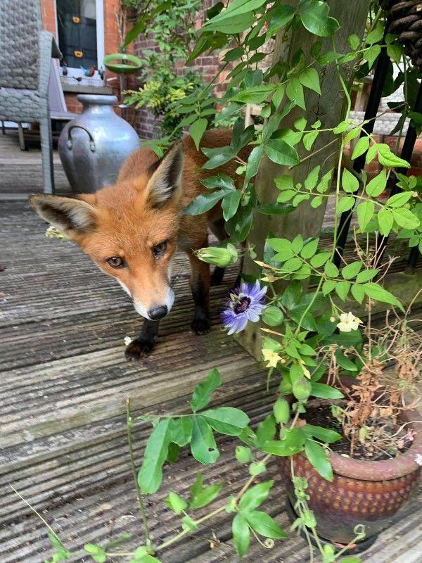 ▲1個多月前艾瑪家後院突然出現一隻野生狐狸「Foxy」。(圖/FB帳號Foxyadventures2021)