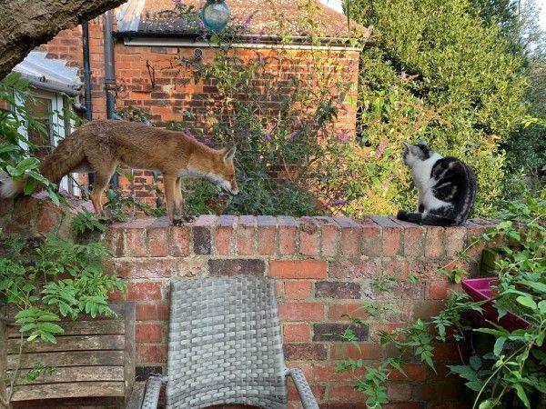 ▲Foxy每天都到艾瑪家報到,還與艾瑪的貓咪「Purcy」變成朋友,經常在後院一起玩耍曬太陽。(圖/FB帳號Foxyadventures2021)