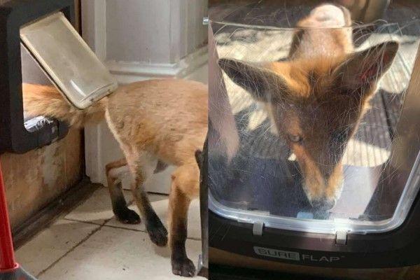 ▲為了避免Foxy半夜偷溜進屋偷東西,艾瑪只好裝貓門,只讓牠白天進出。(圖/FB帳號Foxyadventures2021)