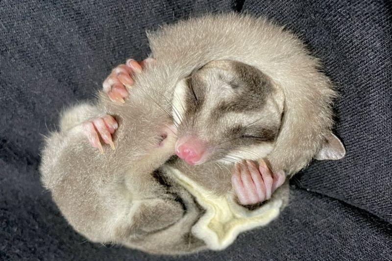 ▲日本一隻蜜袋鼯將尾巴當成圍巾,圍在頭上睡覺!(圖/twitter帳號tsuyukusa_430)