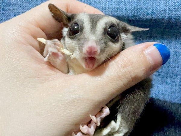 ▲「露」是一隻兩歲的蜜袋鼯,擁有一雙圓滾滾的大眼睛。(圖/twitter帳號tsuyukusa_430)