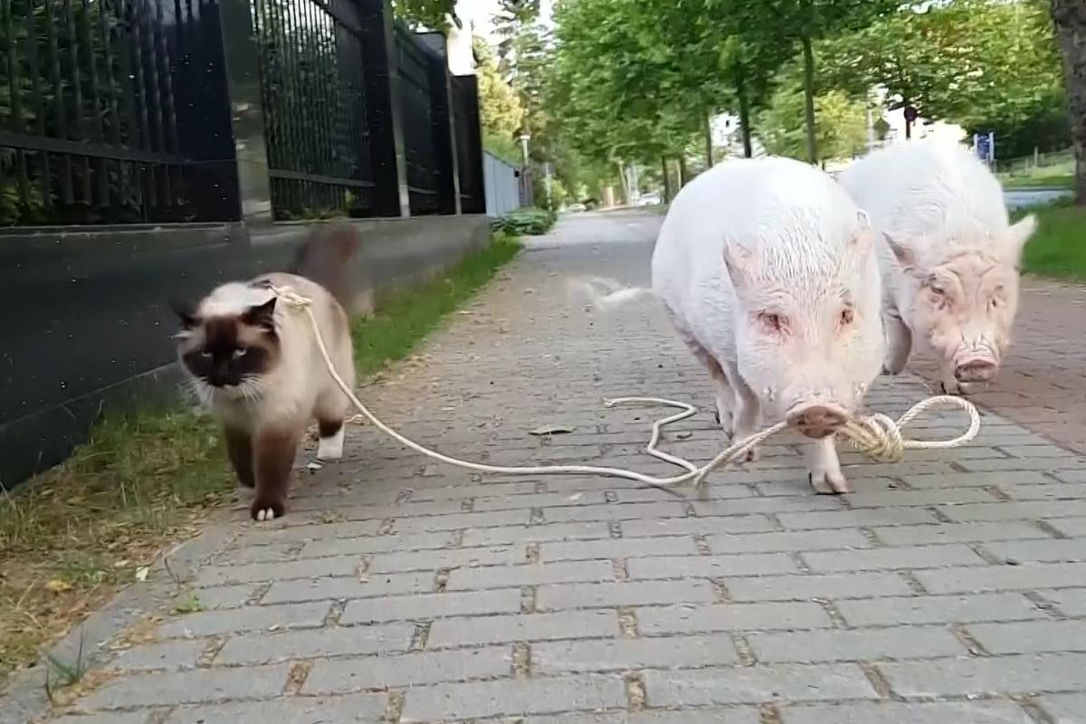 ▲德國的飼主養的暹羅貓與迷你豬,平時會一起到外頭散步。(影/美聯社AP+Jukin Media)