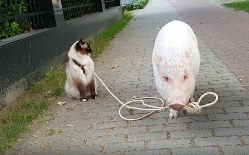 ▲今天天氣正好,迷你豬「莫里茲」咬著牽繩帶貓咪「李奧納多」去走走。(影/美聯社AP+Jukin