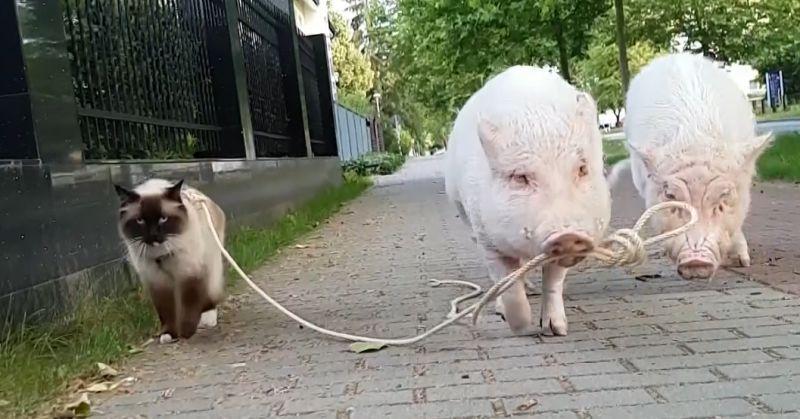 ▲貓咪和兩隻迷你豬一起散步。(影/美聯社AP+Jukin