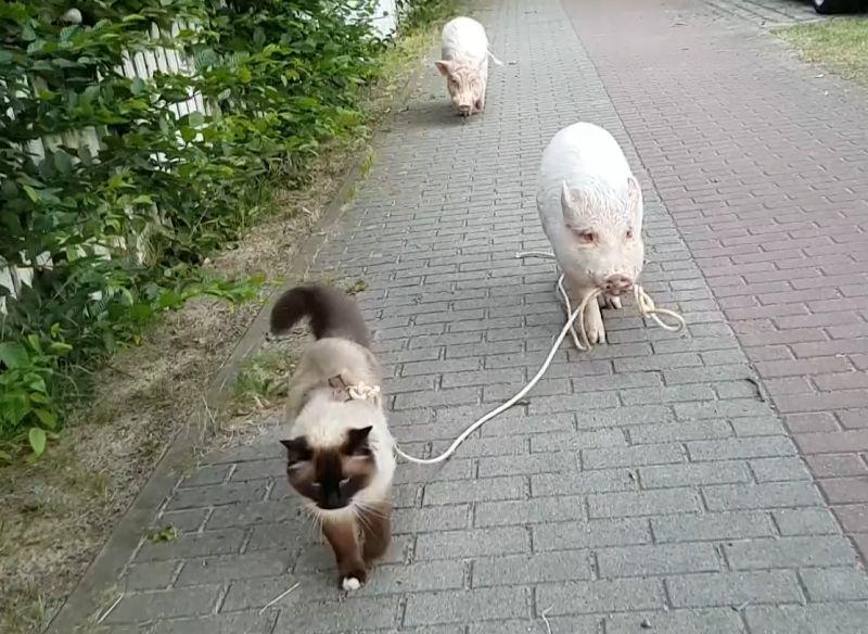 ▲暹羅貓霸氣踏出喵步,彷彿在走秀!(影/美聯社AP+Jukin