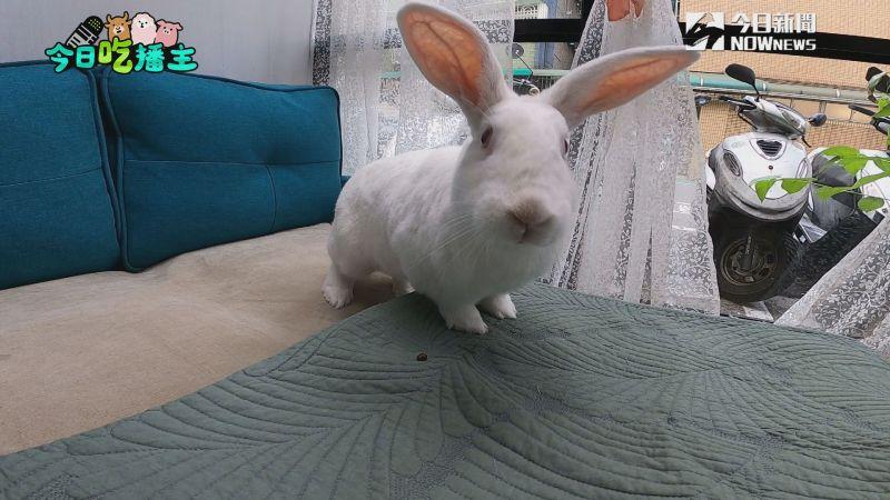 ▲牠是元智,是兔子餐廳的小店長喔!(圖/NOWnews