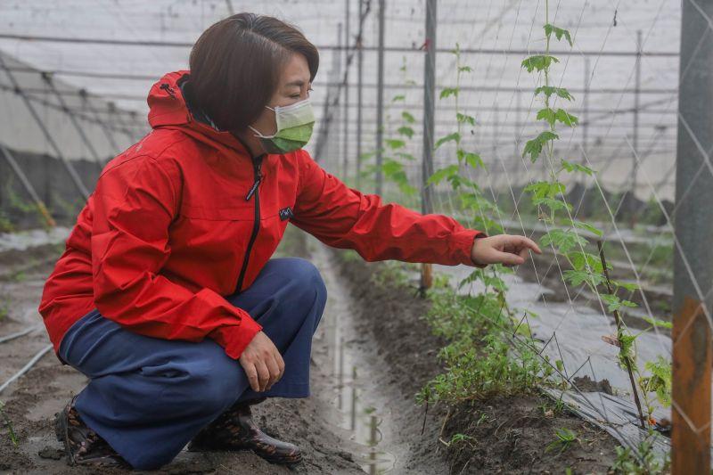 ▲中國再度打壓我國農產品,民進黨立委周春米呼籲農委會,加速開闢多元市場以分散風險。