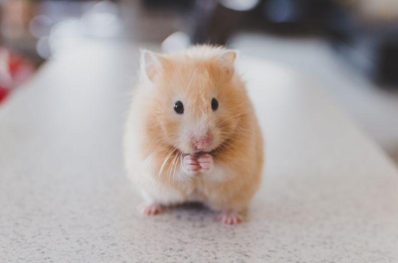▲有網友認為倉鼠是「女生專屬」寵物,因為女生只要看到倉鼠都會直呼可愛。(示意圖/翻攝自Unsplash)