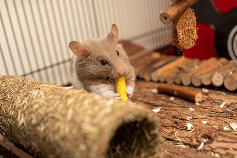 ▲倉鼠可愛的模樣讓人看了就會不自覺露出姨母笑。(示意圖/翻攝自Unsplash)