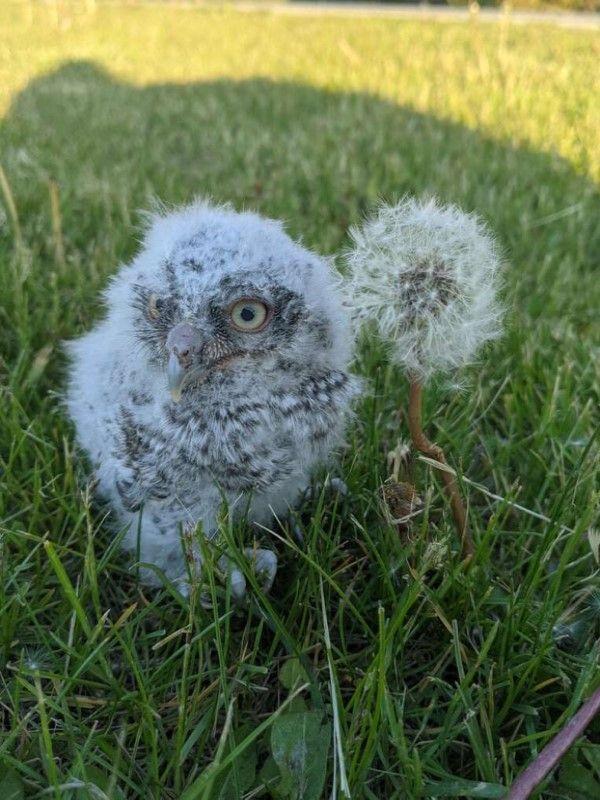 ▲妮基日前跟蹤一隻貓咪時,在草叢裡意外發現一隻落單的東美角鴞寶寶發出求救聲音,牠小小的身體還不停顫抖。(圖/Nikki