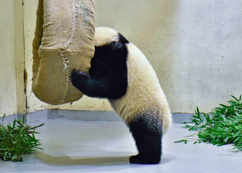 ▲「圓寶」目前有46公斤!(圖/台北市立動物園提供)