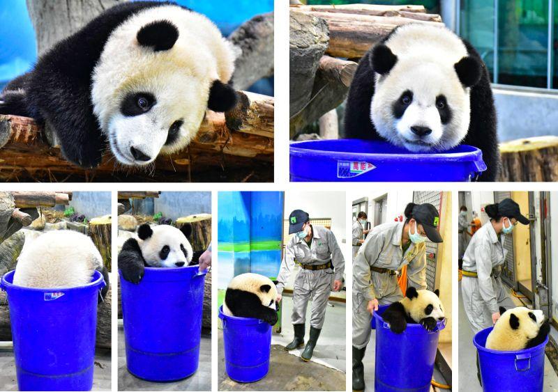 ▲保育員要打掃但「圓寶」不想動,只好出招!(圖/台北市立動物園提供)