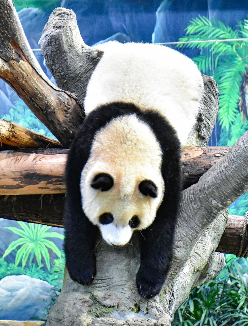 ▲「圓寶」趴在樹枝模樣就像曬一個大娃娃。(圖/台北市立動物園提供)