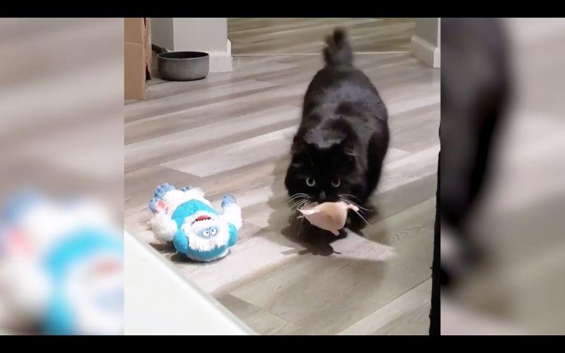 ▲美國網友養了一隻貼心黑貓,每天晚上都會叼玩具過來給主人,已經成為一種日常儀式。(圖/美聯社AP/SWNS)