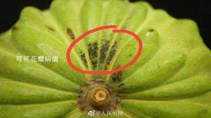 ▲台灣釋迦被檢出可可花癭病菌。(圖/翻攝自微博)