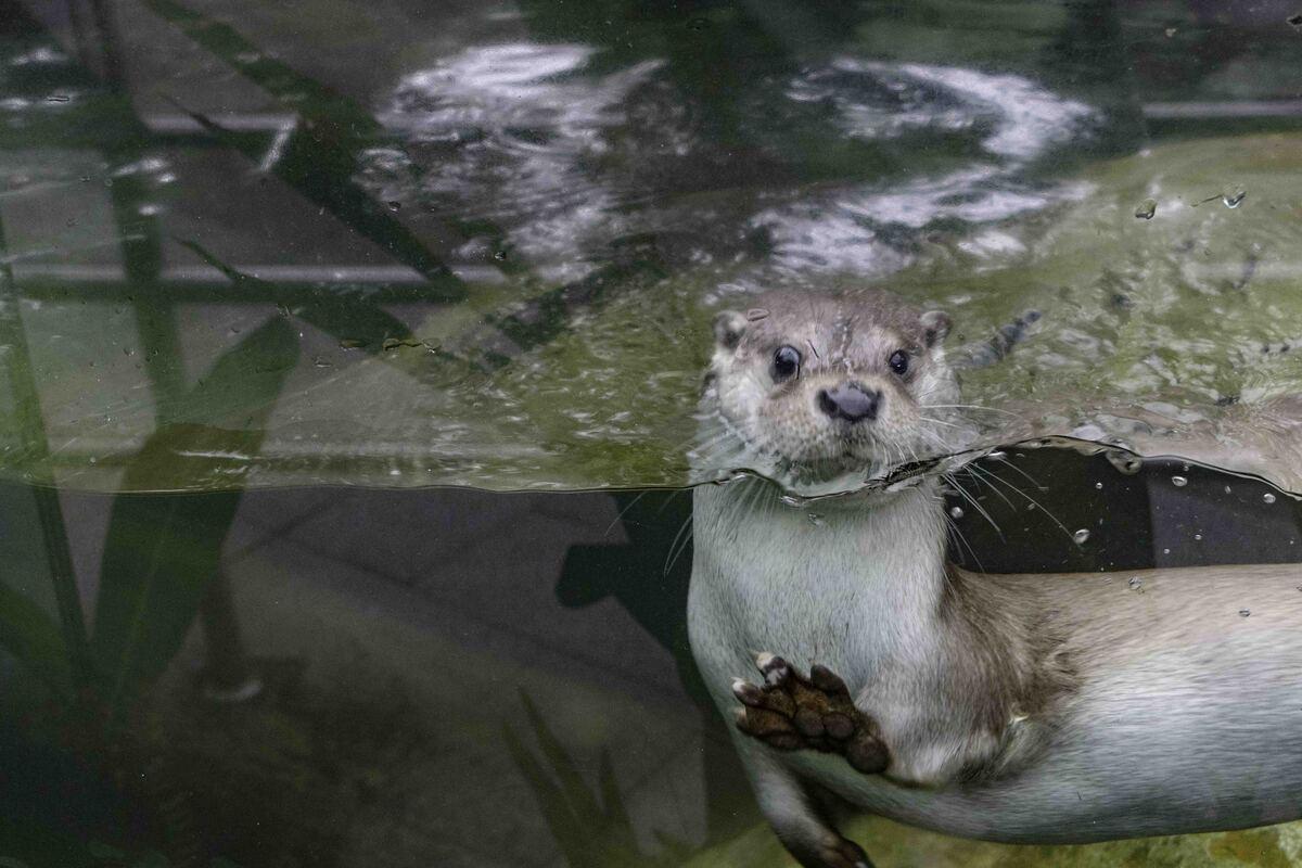 ▲水獺動作敏捷,讓動物園攝影師拍照下了很多苦功。(圖/臺北市立動物園提供)