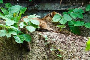 ▲用樹葉把自己遮好遮滿的石虎「小母」。(圖/台北市立動物園提供)