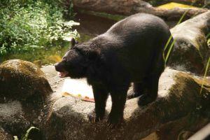 ▲背光加上全身都黑黑的,很難拍到黑熊的表情。(圖/台北市立動物園提供)
