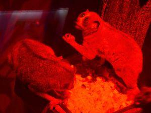 ▲夜行性動物小懶猴因為燈光的關係,也列在難拍名單上。(圖/台北市立動物園提供)