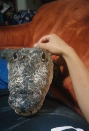 ▲鱷魚趴在主人肚子上撒嬌賣萌。(圖/TikTok帳號turtlesandcrocs)