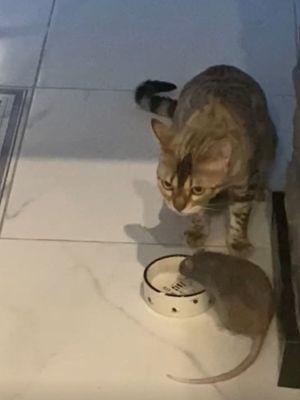 ▲鼠鼠自顧自地喝水,貓咪在一旁似乎有點不知所措。(圖/美聯社AP+Jukin Media授權)