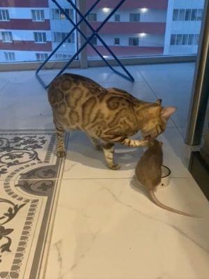 鼠:你在吃什麼我也要!(圖/美聯社AP+Jukin Media授權)