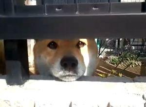 ▲原來是一隻超可愛的柴犬啊!(圖/Youtube帳號:olu77)
