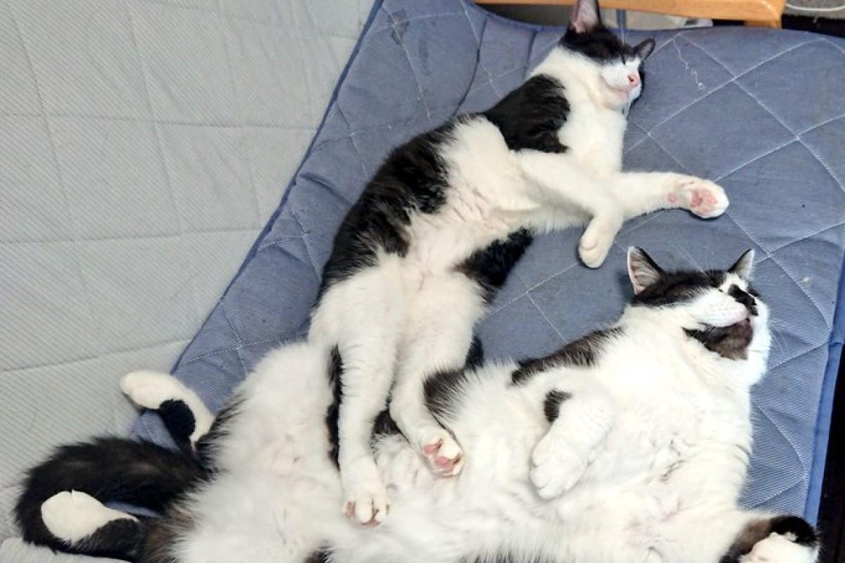 ▲同胎貓姐弟一起長大,體型卻差了不只一倍!(圖/Twitter帳號:sai_nekoyashiki)