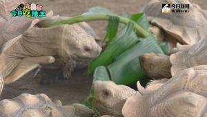 ▲大小象龜一同吃飯,畫面超溫馨。(圖/NOWnews )