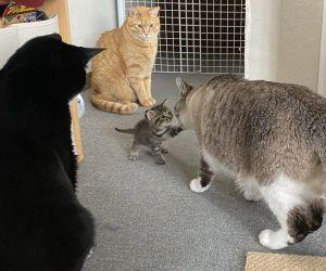 ▲日前家中來了一隻虎斑幼貓「Chill」,三隻前輩貓非常照顧牠。(圖/twitter帳號soramoon22)