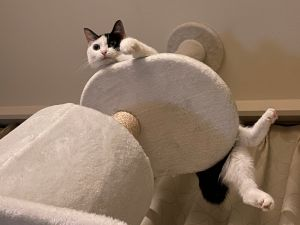 ▲貓:看什麼看?還不快點打過來?(圖/Twitter帳號:amanattif)