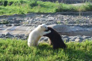 ▲來自阿拉斯加野外的小灰熊「傑比」因為沒有媽媽被輾轉送到底特律動物園,剛好遇見被母親與手足拋棄的北極熊寶寶「蕾爾克」。(圖/FB帳號Detroit Zoo)