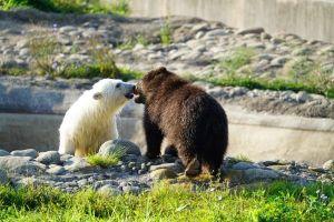 ▲兩隻小熊或許因為都失去家人,因此總是互相陪伴,一起玩耍。(圖/FB帳號Detroit Zoo)