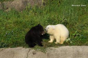 ▲看兩隻小熊彼此玩耍的模樣真的太療癒了!(圖/FB帳號Detroit Zoo)