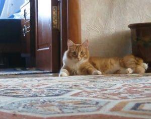 ▲貓咪原先優閒地躺在地上。(圖/AP+ Jukin Media)