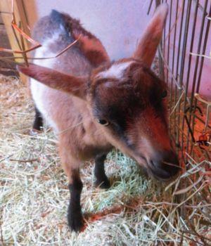 ▲「Took a Leap Farm」牧場裡有一隻非常活潑又調皮的小羊「Buttermilk」。(圖/FB帳號Buttermilk Sky, Internet Phenom)