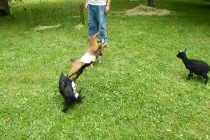 ▲Buttermilk:忍不住想要後空翻啦!(你有想過被飛踢的同伴的感受嗎?)(圖/Youtube帳號Kathryn Harnish)