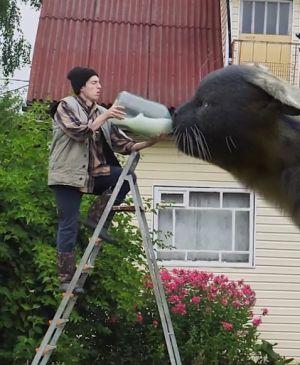 ▲要餵巨大貓咪喝奶的話,必定要爬上梯子上啊!(圖/TiKTok帳號:danilovx_)