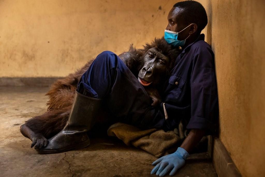 自拍網紅大猩猩病逝 保育員懷中嚥下最後一口氣
