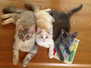 ▲小時候體型都非常嬌小,布偶貓則是裡面最小的一隻。(圖/Twitter帳號:KRAUSER_MKM1000)
