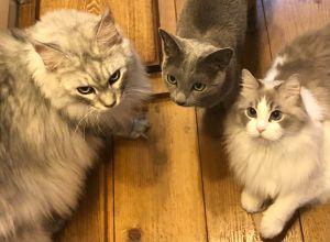 ▲網友家飼養了三隻貓咪,今天的主角是最右邊的布偶貓。(圖/Twitter帳號:KRAUSER_MKM1000)