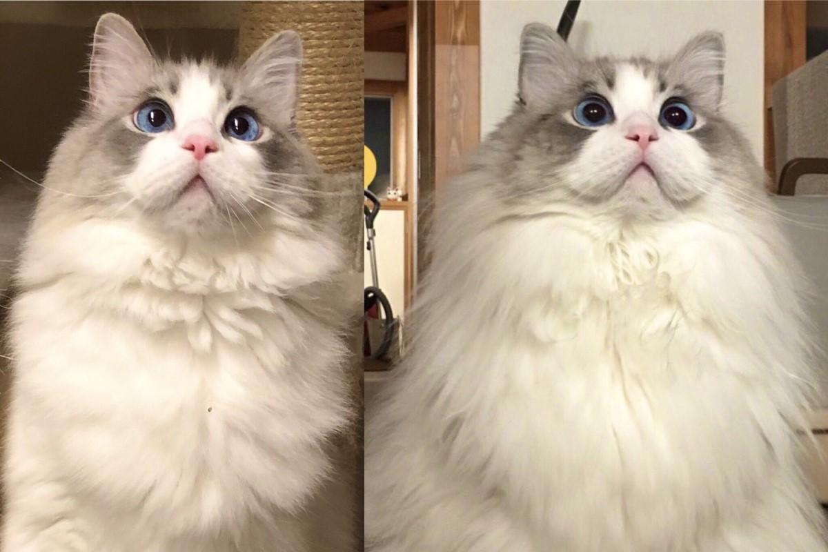 ▲長毛貓冬季和夏季長得大不相同,貓奴曬出神奇對比照!(圖/Twitter帳號:KRAUSER_MKM1000)