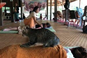 ▲園區內有一隻虎斑貓經常出現在遊客中心的二樓,在這裡替遊客踏踏按摩。(圖/美聯社AP Jukin Media授權)