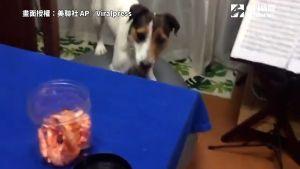 ▲ 為了吃到桌上的食物,汪星人都會騎上球上蹭飯吃。(圖/美聯社 AP/Viralpress 授權)