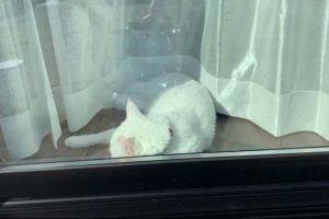 ▲這天推主回家時看見牠在窗前睡覺,輕敲玻璃叫醒牠。(圖/twitter帳號hakusama0906)
